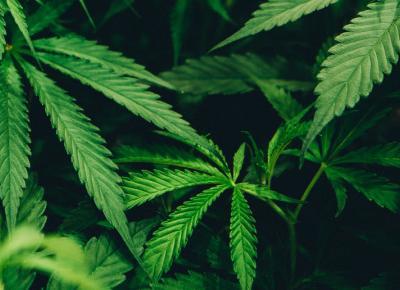 Przełom w Europie! Pierwszy kraj legalizuje marihuanę na własny użytek!