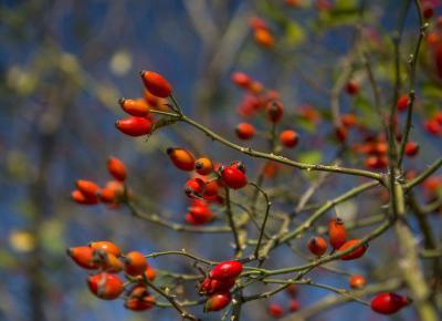 Przeciwzapalne kuracje z owoców dzikiej róży.