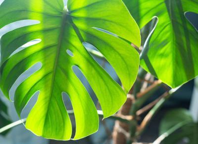 Monstera: Gdzie postawić roślinę, aby pięknie rosła?