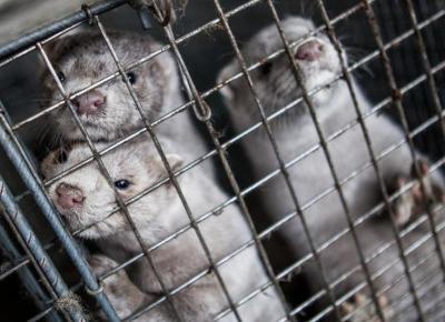 Koniec hodowli futerkowej w Polsce! Sejm przegłosował ustawę o ochronie praw zwierząt.