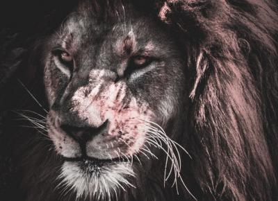 Lwy zagrożone wyginięciem?