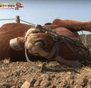 Ten koń nie lubi się przemęczać. Udaje martwego za każdym razem, gdy ktoś próbuje zmusić go do pracy!