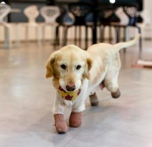 Psiak, który stracił 4 łapy i miał zostać zjedzony!