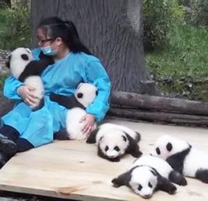 Najlepsza praca świata - przytulanie pand!