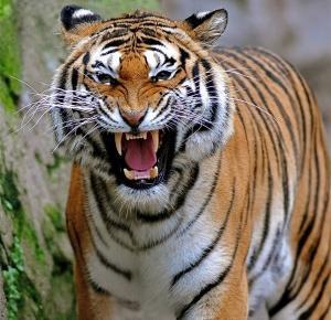 Tygrys zabił turystkę w parku. Błąd popełniła kobieta.