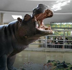 Nie żyje najstarszy w Europie hipopotam nilowy!