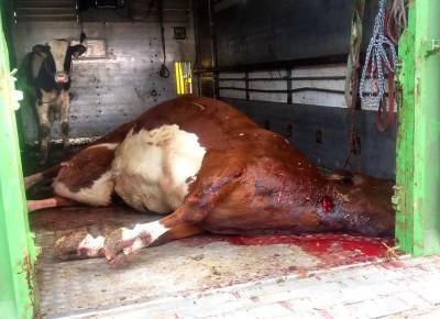 Krowa z poderżniętym gardłem i cielak w ciężarówce!