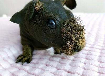 🌺 Moja świnka morska rasy skinny 🌺 | DressCloud.pl 🌺