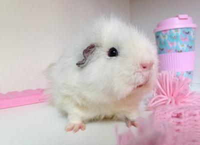 """🌸 Justyna 🌸 on Instagram: """"Przedstawiam Wam Szymusia 😘💖 jest to moja druga z kolei świnka morska i jest ze mną już ponad 2 latka 💖 Ma w całości białą sierść i różowe…"""""""