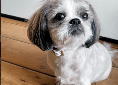 Shihtzu Daisy po fryzjerze