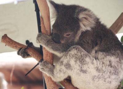 8400 koali zginęło już w pożarach w Australii!