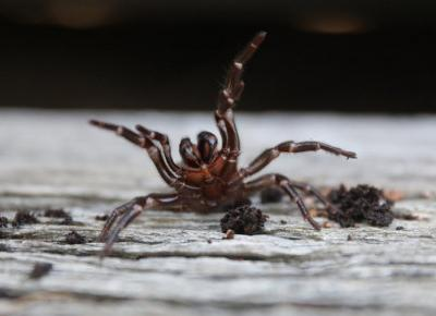 Australia w obliczu kolejnej klęski: nadciąga inwazja jadowitych pająków