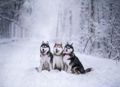 Husky ❄ | Zimowa Sesja Fotograficzna