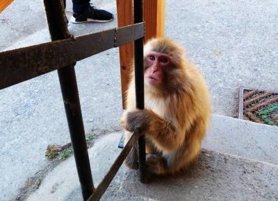 Makaki japońskie w gorących źródłach | Jigokudani Snow Monkey Park