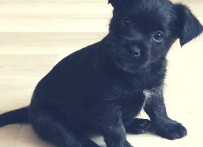Dzień psa, czyli jak się żyje z cairn terrierem?