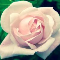 RoseLady