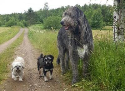 Te zdjęcia pokazują jak wielkie i kochane są wilczarze irlandzkie