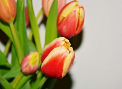 Fotografia by M: Ukochane tulipany
