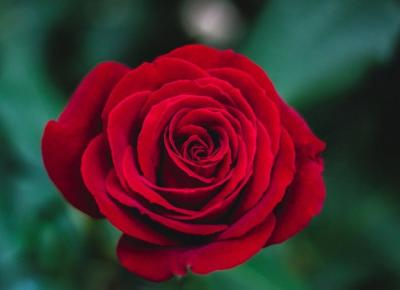 7 ciekawostek o różach!