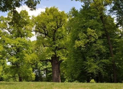 Podróże Dwóch Włóczykijów  ~  Two Gadabouts' Journeys: POLSKA WYGRAŁA! Europejskim Drzewem Roku 2017 został Dąb Józef z Wiśniowej w województwie podkarpackim