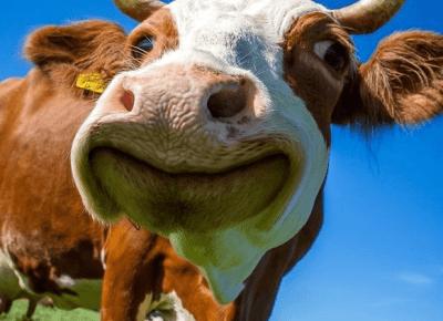 Krowie łaty na paznokciach?