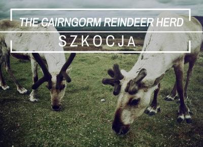 Renifery w Szkocji - The Cairngorm Reindeer - Wszechpodróże