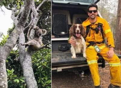 Pożary w Australii: psy ratują misie koala
