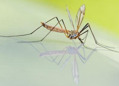 Komar i komarzyca które z nich gryzie i co odstrasza komary? - Zlota7