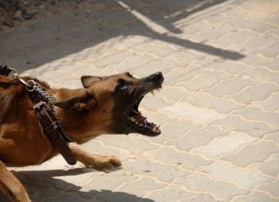 Agresywne psy - jak uniknąć pogryzienia, gdy atakuje pies. - Zlota7
