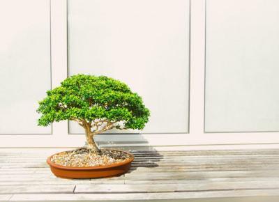Jak i gdzie kupić odpowiednie drzewko Bonsai? - Zlota7