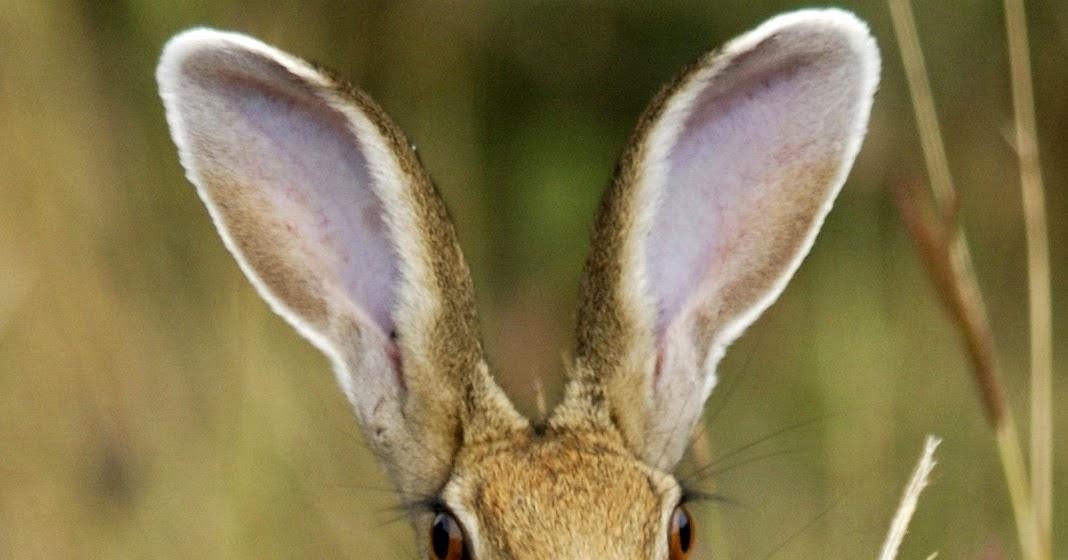 Interesujące zwierzęta: Zając