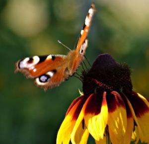 Tuczarnia Motyli: Stare i nowe