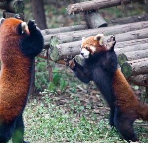 Interesujące zwierzęta: Panda ruda