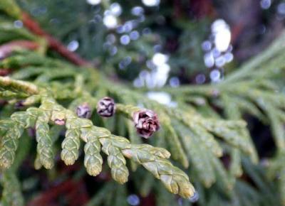 zuzmot: Biel śniegu i zieleń sosen