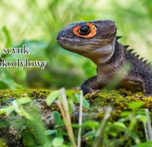 Interesujące zwierzęta: Scynk krokodylowy